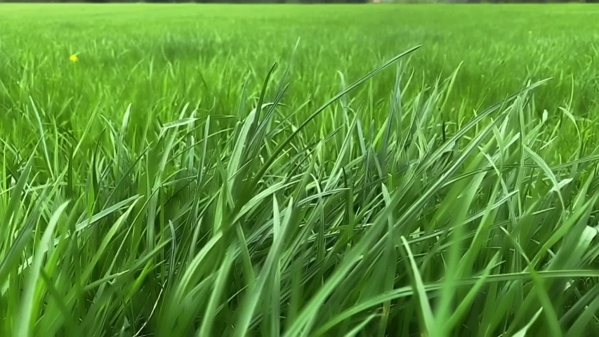 Green grass close-up. Grass swaying in the wind in slow motion. Green juicy lawn, it's time to cut. Alpine meadow densely overgrown with grass. Field of grass in perspective  Royalty-Free Stock Footage #1052620508