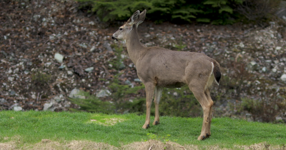 Black tailed deer grazing and eating fresh grass. Whistler, BC.  | Shutterstock HD Video #1052686688