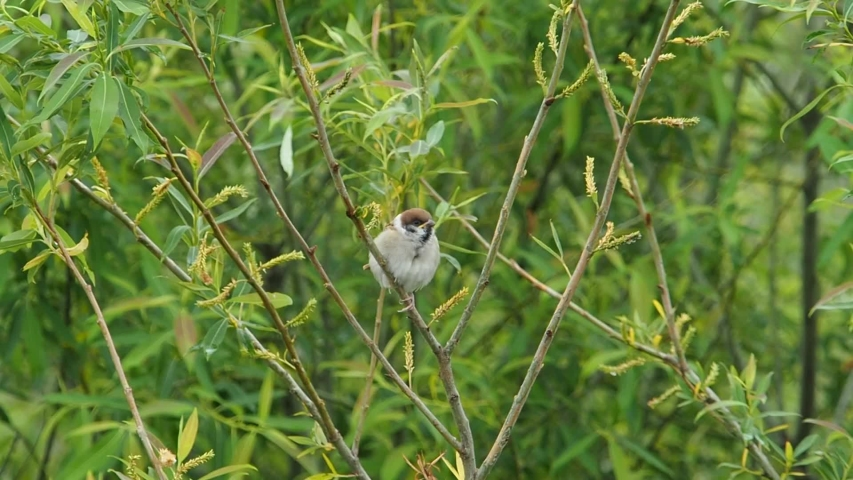 A young sparrow chirps in the tree and waiting for parents | Shutterstock HD Video #1052695862