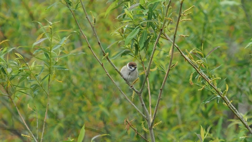 A young sparrow chirps in the tree and waiting for parents | Shutterstock HD Video #1052695865