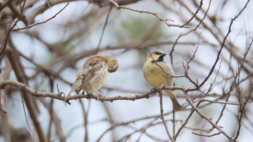 Plain-backed sparrow, Pegu sparrow, olive-backed sparrow, birds living on the tree branch | Shutterstock HD Video #1052697494