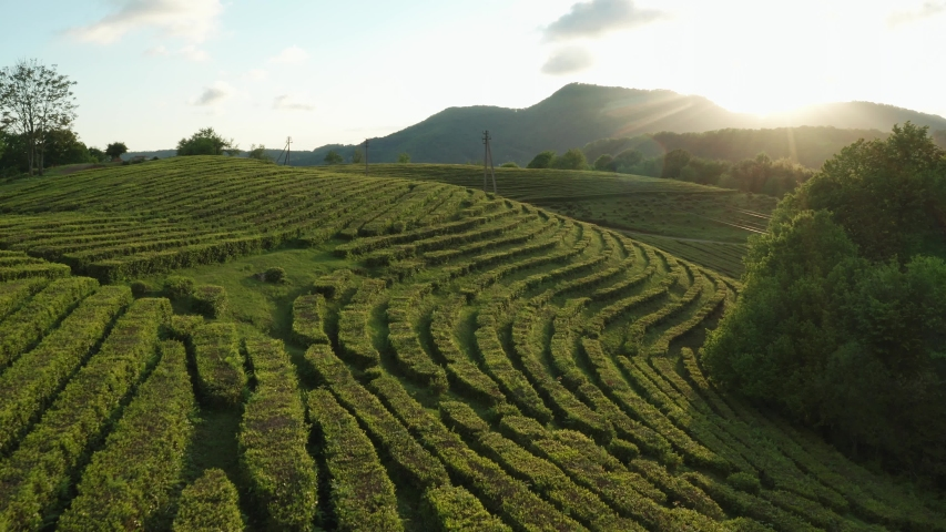 Tea. Plantation. Smooth rows of green bushes. Sunset. Aerial photography. Nature. An environmentally friendly product. Sochi. Macesta.  Royalty-Free Stock Footage #1052708939