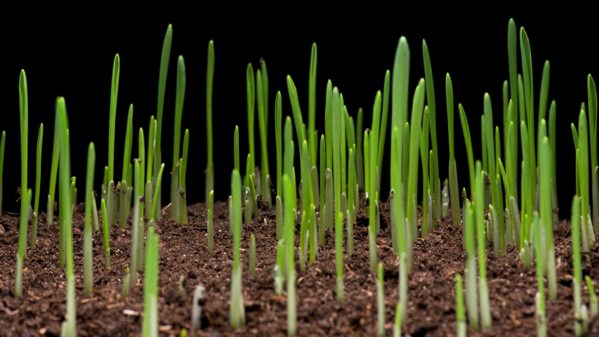4K Time Lapse of barley grass growing. Time-lapse of growing green grass isolated on black background. Germination seeds sprouting springtime. Close up timelapse of growing Barley.