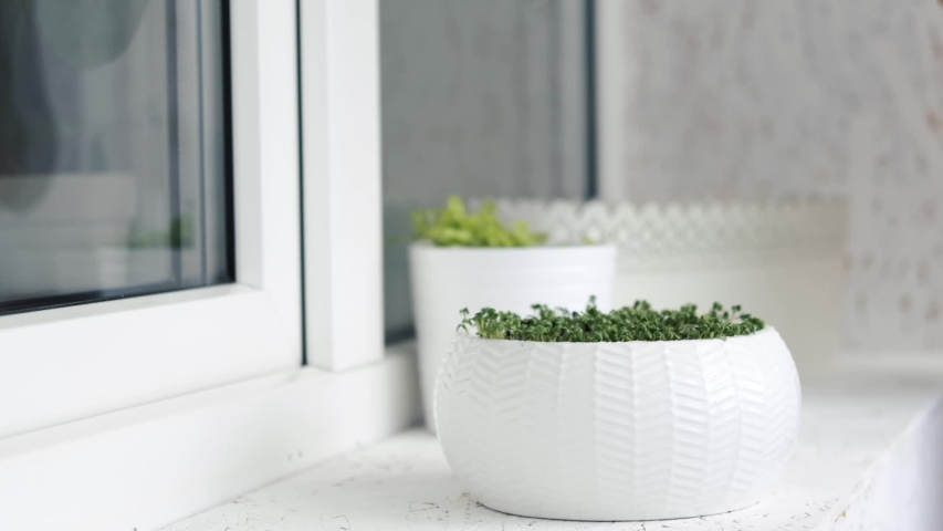 Growing plants in spring, sprouts of newborns sprouts watercress on the balcony, spraying water | Shutterstock HD Video #1052725664