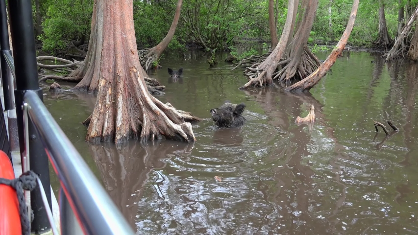 Wild boars (Sus scrofa) in the water are eating food thrown by tourists. Honey Island swamp. Louisiana, USA