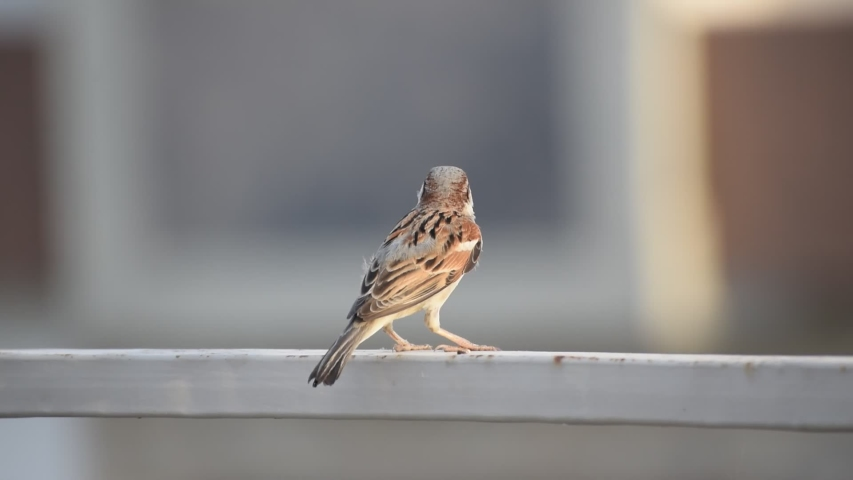 Indian sparrow sitting on a grill | Shutterstock HD Video #1052730713