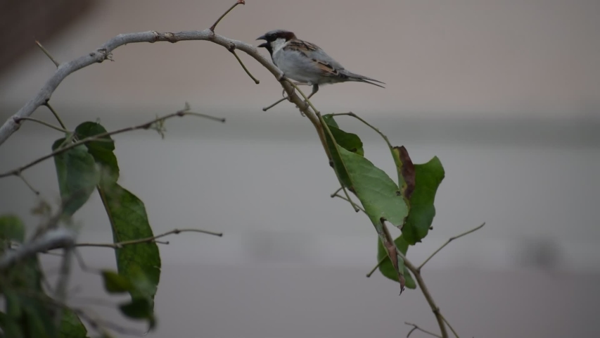 Indian sparrow sitting on a tree | Shutterstock HD Video #1052730758