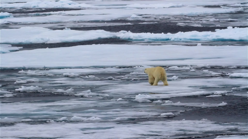 Polar bear wandering on Fragile frozen Ocean, Svalbard Polar bear Walking on waving  Melting broken sea ice in arctic sea  Royalty-Free Stock Footage #1052737184