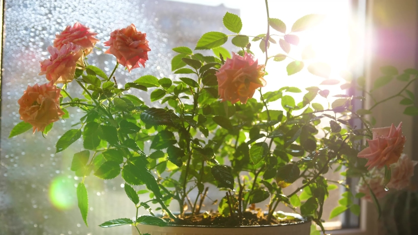 Care for home flowers. Watering, heavy spraying. Indoor flowers on a Sunny windowsill | Shutterstock HD Video #1052752142