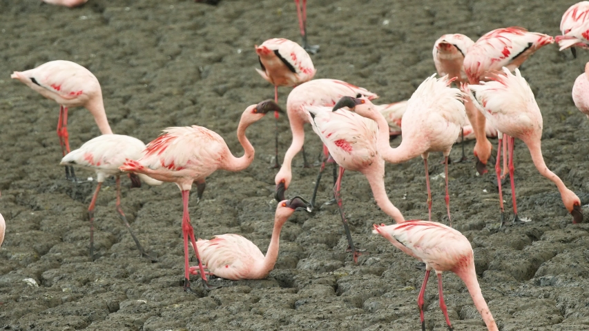 Adult Pink Lesser Flamingo birds fight between them selves over the mudflats around mangroves for place to stand and sit during the mid day when the tide resides and mudflats open in Mumbai , India