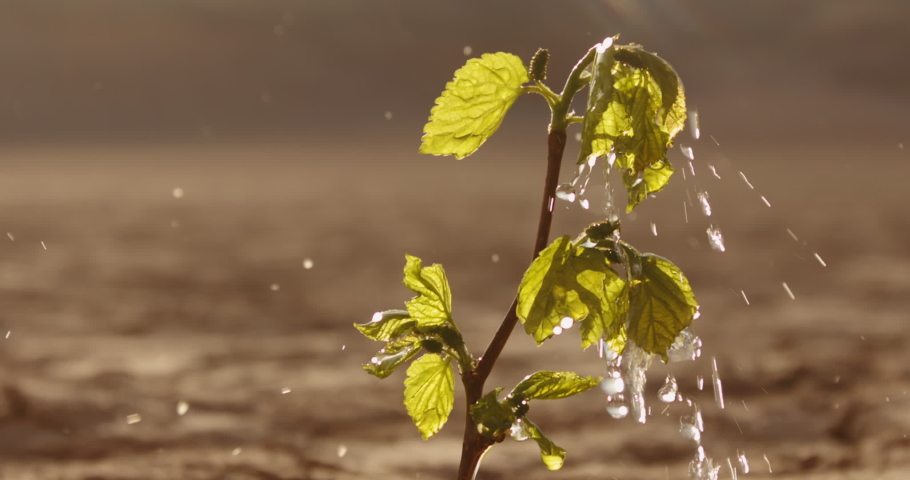 Water drops falling on tiny plant in desert, filling it with life. Little green sprout growing on cracked ground in dried river - ecology, sustainability concept close up 4k footage Royalty-Free Stock Footage #1052779622
