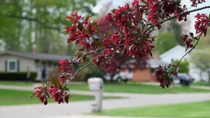 Malus Mokum red flowers branch movement in front of the house and has the street and mailbox in the background with birds voice sound.   Shutterstock HD Video #1052781347