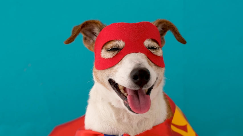 Cute cheerful Jack Russell Terrier in red mask and superhero cape standing on blue background with tongue sticking out and narrowed eyes
