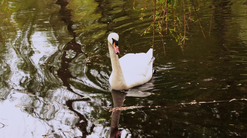 Funny swan posing and swimming in calm water surface end of summer season in August