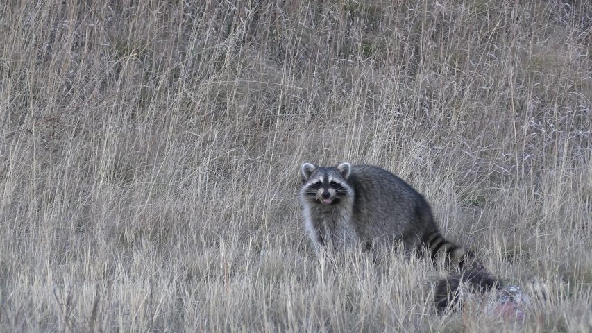 North American Raccoon in Grassland Eating Scavenging Carcass Roadkill | Shutterstock HD Video #1052843729