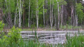 Swamp in the open water forest in May. Frogs croak loudly - mating season. Fluff flies over the water. Selective focus.