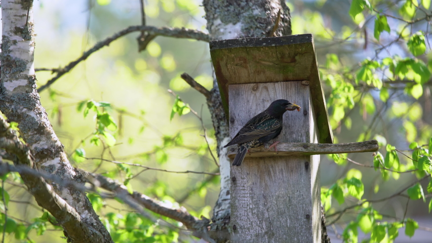 Starling bird ( Sturnus vulgaris ) bringing worm to the wooden nest box in the tree. Bird feeding kids in wooden bird house hanging on the birch tree outdoors  Royalty-Free Stock Footage #1052852027