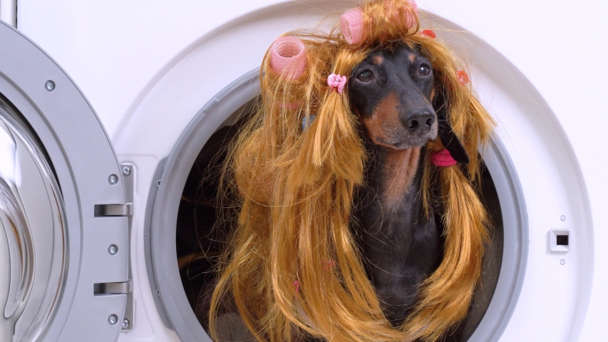 Failed housewife dachshund dog in battered red wig with curlers and ponytails, in pink princess dress barks and jumps out of the drum of washing machine with dirty laundry, close up | Shutterstock HD Video #1052881880
