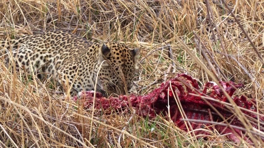 Leopard feeding on a carcass, big cat in the savanna in Africa, game drive, safari
