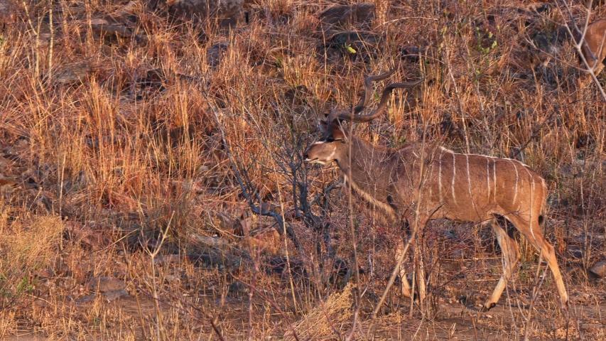 Greater Kudu, male big antelope from Africa, game drive in Botswana, animal wildlife footage from savanna