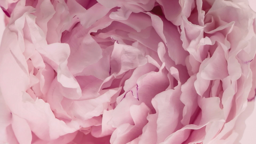Beautiful Pink Peony Flower background. Wedding backdrop, Valentine's Day concept. Holiday, love, birthday design backdrop. | Shutterstock HD Video #1052896055