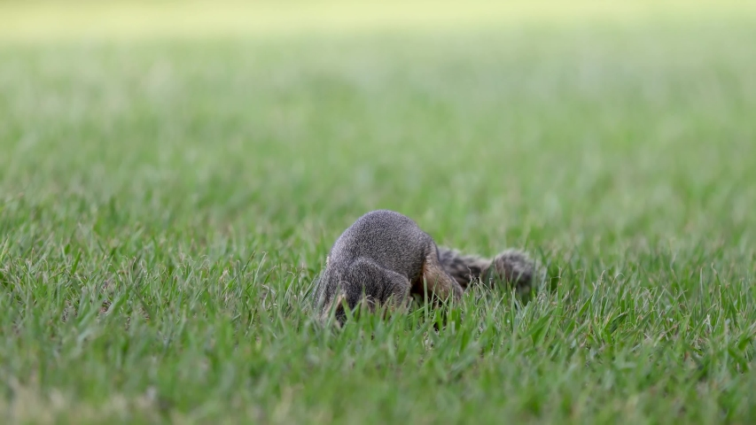 Ground squirrels eat nuts, leaves, roots, seeds, and other plants. They also catch and eat small animals, such as insects and caterpillars.The squirrel family includes tree squirrels, ground squirrels