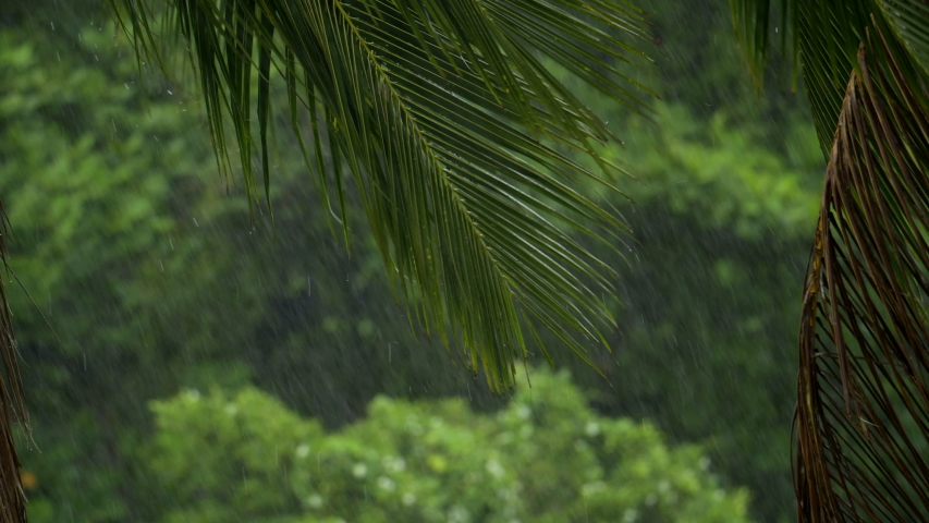 Palm trees and leaves in a tropical super cyclone thunderstorm. Close up of a strong winds and heavy rain shaking trees while a hurricane power winds blowing in rainforest