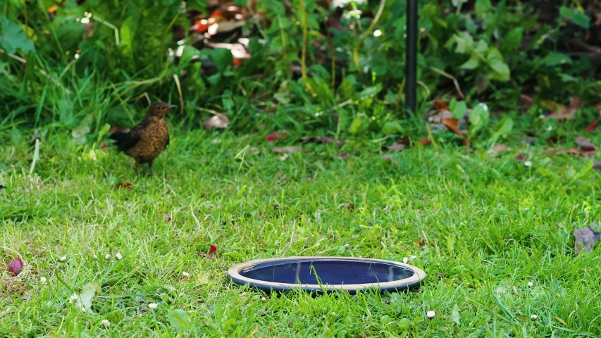 Fledgling Blackbird stands in bath while male parent puts food in its mouth. Both birds attempt to chase away young sparrows trying to use birdbath at the same time | Shutterstock HD Video #1052922983