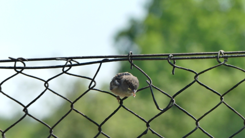 Young sparrow bird on a metal mesh fence on May 2020 in Poland | Shutterstock HD Video #1052928890
