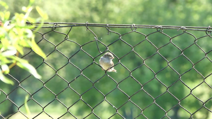 Young sparrow bird on a metal mesh fence on May 2020 in Poland | Shutterstock HD Video #1052928893