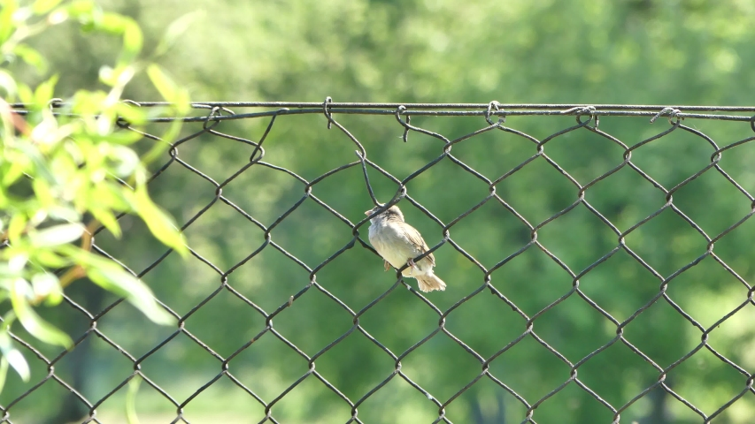 Young sparrow bird on a metal mesh fence on May 2020 in Poland | Shutterstock HD Video #1052928896