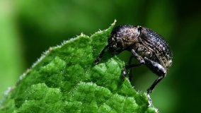 Pea Weevil feeds on a leaf. His Latin name is Sitona hispidulus.