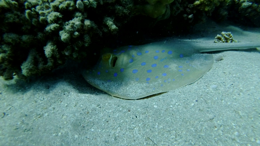 Slow motion, Blue-spotted Stingray (Taeniura lymma) lies under coral reef and floats away. Red sea, Egypt Royalty-Free Stock Footage #1052949614