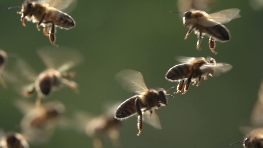 Bees flying, close-up view, slow-motion