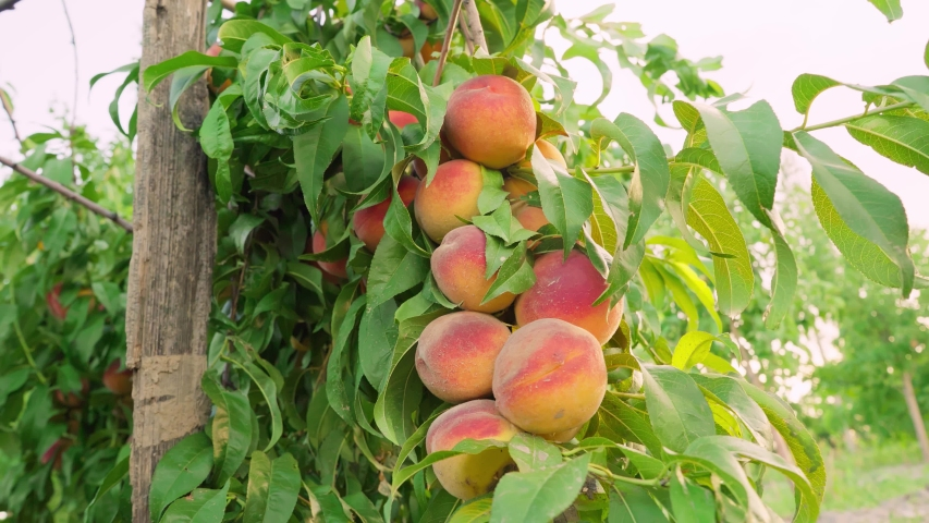 A large crop of peaches. Many peach fruits hanging on a branch. Big juicy peaches on the tree. Peach hanging on a branch in orchard. Fruit picking season. Peach fruit. Healthy food. Organic product.