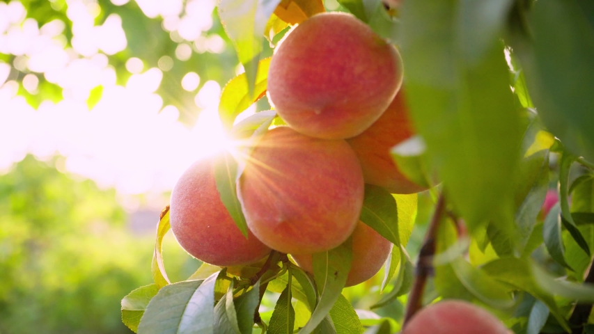 Big juicy peaches on the tree. Fruits ripen in the sun. Peach hanging on a branch in orchard. Fruit picking season. Peach fruit. Sun light. Healthy food. Organic product. | Shutterstock HD Video #1052959052