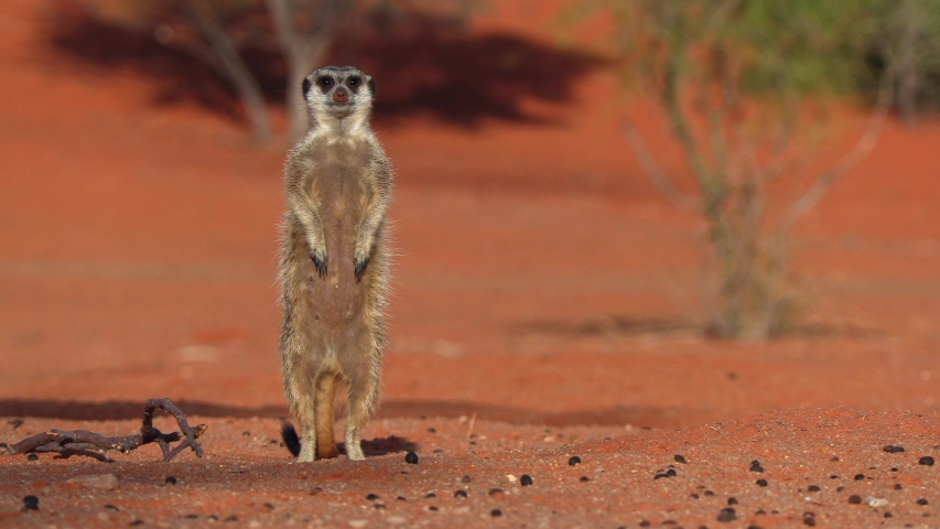 Meerkat (suricate) on the lookout in the Kalahari desert in Africa, cute small mammal, small carnivore Royalty-Free Stock Footage #1052961665