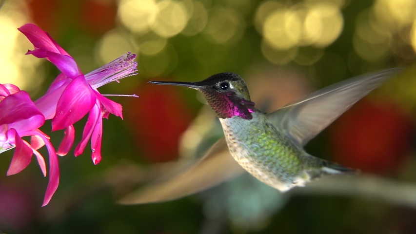 A slow motion footage of a female hummingbird taking off and chase the male away from a pink flower