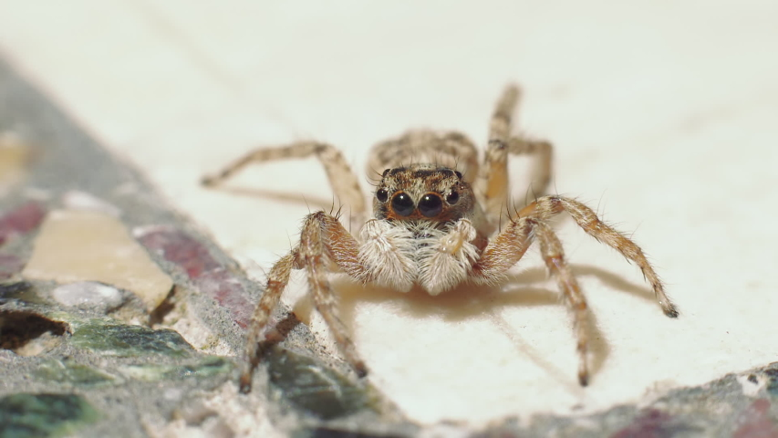 A closeup view of a jumping spider looking around and then quickly running away. | Shutterstock HD Video #1052971091