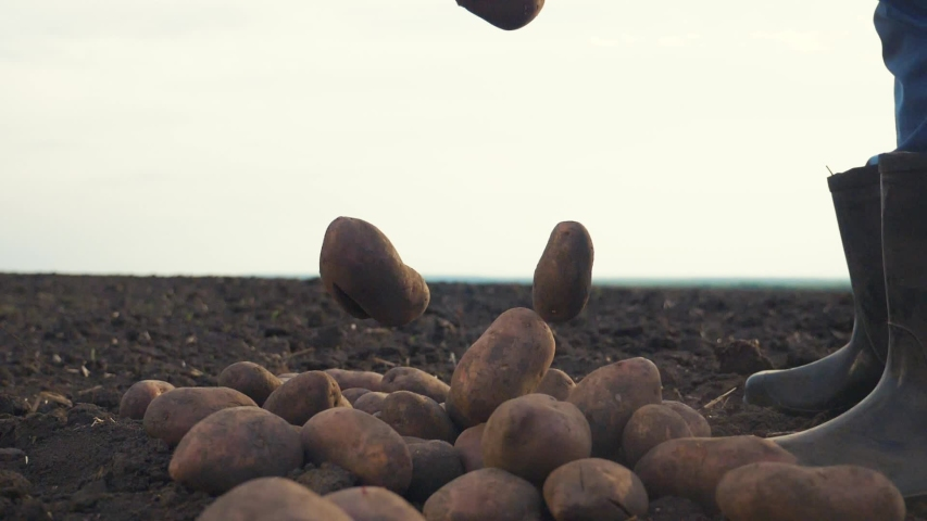 smart farming large potato crop falls to the ground. man farmer picks potato crop slow motion video. agricultural harvesting concept. male commoner in red neck rubber lifestyle boots during harvest Royalty-Free Stock Footage #1052972945