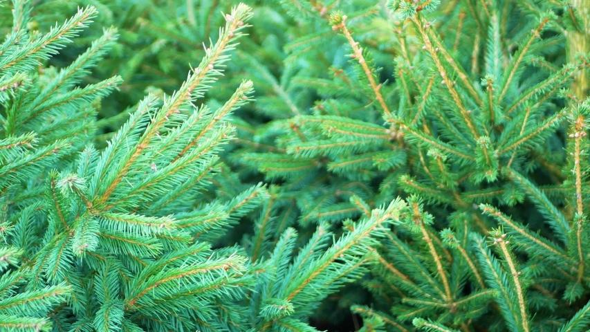 Natural christmas tree close-up. christmas shopping
