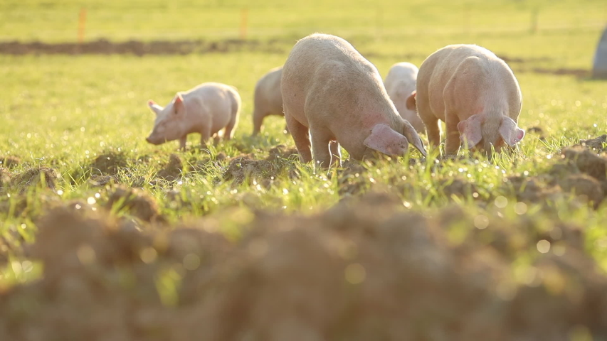 Free range domestic Pigs eating on a meadow in an organic meat farm Royalty-Free Stock Footage #1053006767