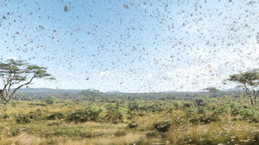 A swarm of locusts flying across fields, threatening food supply of human, a plague of locusts in Africa Royalty-Free Stock Footage #1053019955
