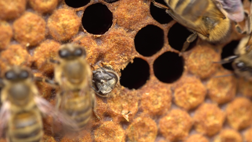 Honey Bee Brood, honeycomb. Brood care. The Birth of a Bee. Worker bee emerging from cell. The Honey Bee Life Cycle. Sustainable living Royalty-Free Stock Footage #1053021122
