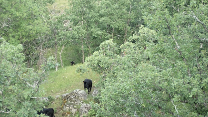 Young spanish fighting bulls grazing in open space.
