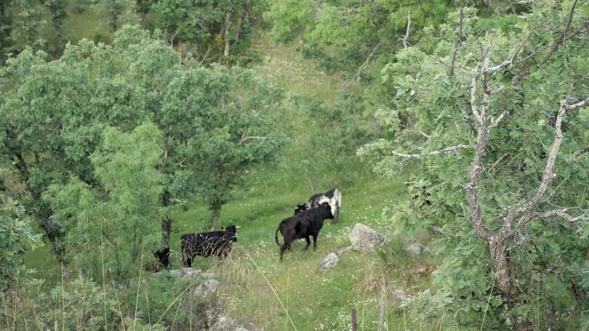 Herd of young spanish fighting bulls running up a mountain hill.