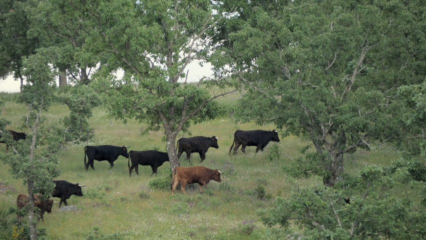 Herd of young spanish fighting bulls moving through mountain pastures.