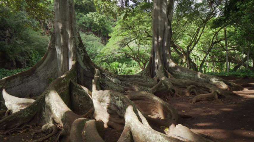 Famous Moreton Bay Fig tree. Trees filmed for different movies. Large buttresses and plant roots in walking gimbal shot. Natural plants in tropical botanical garden in Hawaii Kauai
