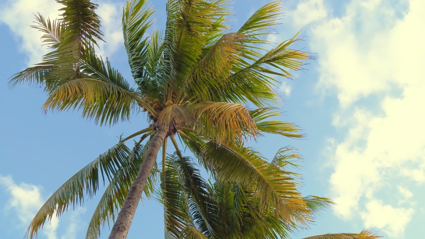 Coconut palm trees bottom view. Green palm tree on blue sky background. View of palm trees against sky. Beach on the tropical island. Palm trees at sunset light. Bottom up view. Warm light toned.