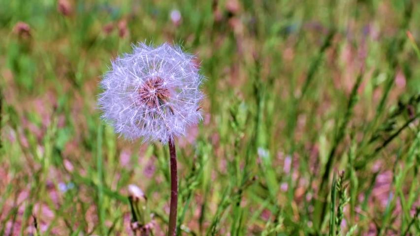 Beautiful dandelion flower among the green grass on the meadow | Shutterstock HD Video #1053076520